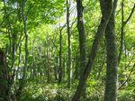 安蔵山のブナ林