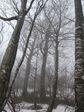 残雪の中のブナ林