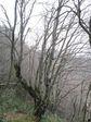 幹周り京都府最大のブナの木