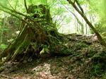 巨木の切り株